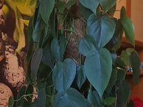 Растения, филодендрон сканденс
