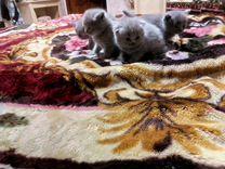 Предлагаем к продаже шотландских котят от чистокро
